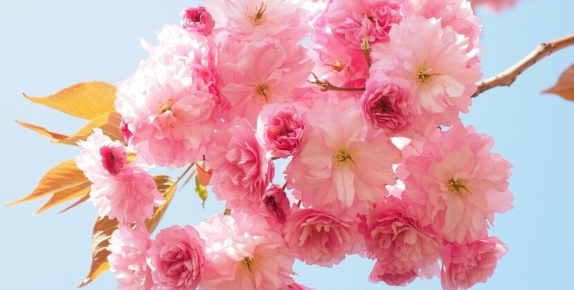 Top three picks for cherry blossoms sightseeing